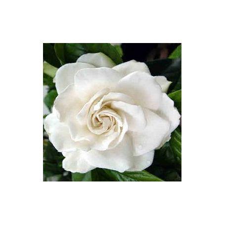 Gardenia Fragancia