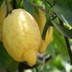 Limón Aroma