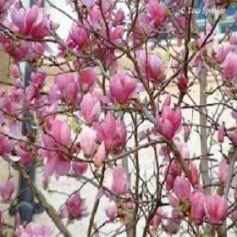 Magnolia Fragancia