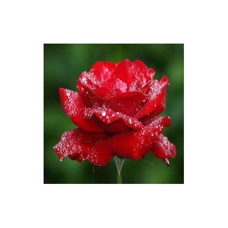 Rosa Fresca Fragancia