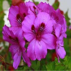 Violetas Fragancia