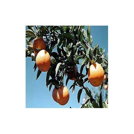 Mandarina Aroma