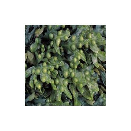 Extracto de Algas Fucus