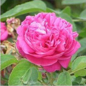 Hidrolato de Rosas de Bulgaria