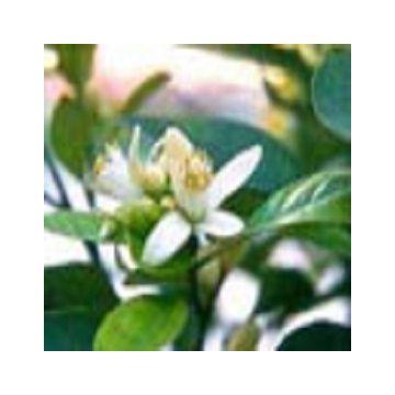 Aceite Esencial de Azahar - Neroli- 100% Puro y Natural