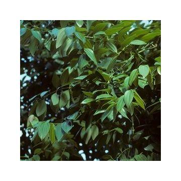 Aceite Esencial de Canela (Hojas)